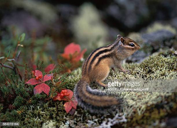 Striped chipmunk