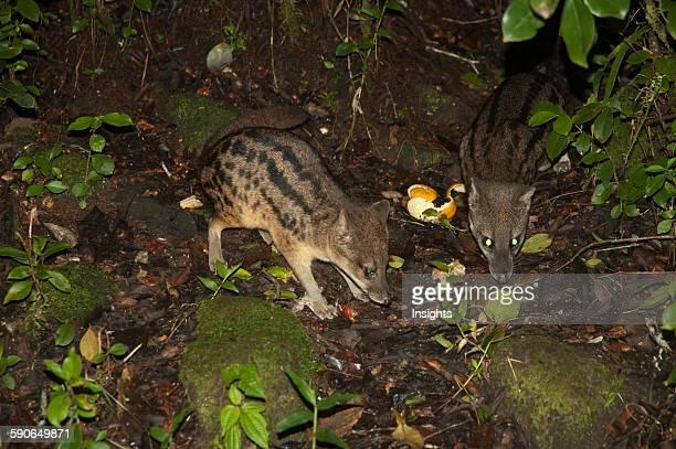 Striped Civet Cats In Ranomafana National Park Fianarantsoa Province Madagascar