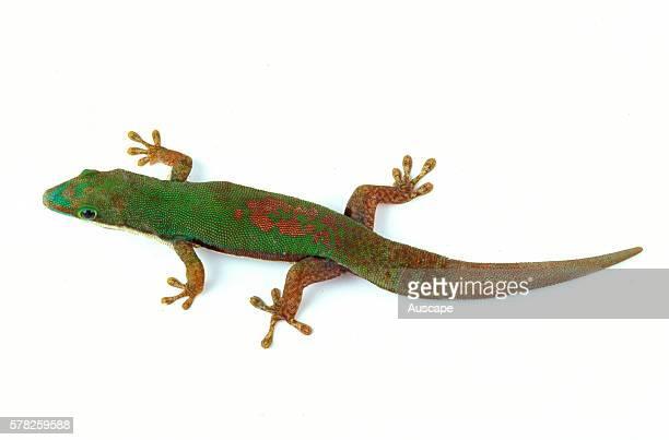 Striped day gecko Phelsuma lineata species kept as pet Can reach 145 cm Rainforests arboreal Native to Madagascar