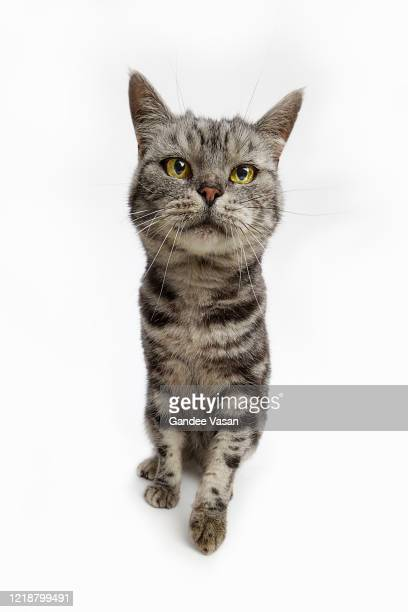 striped domestic tabby cat looking at camera - gandee stock pictures, royalty-free photos & images
