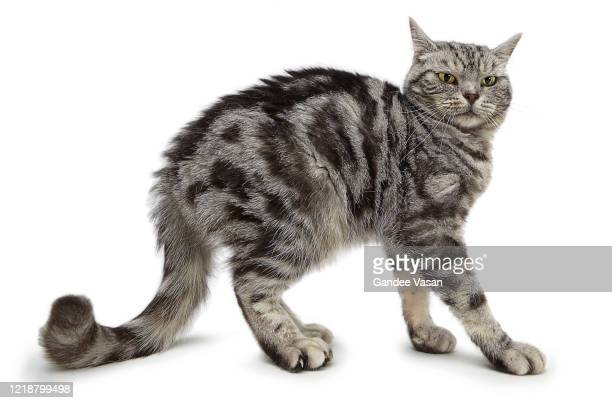 striped domestic tabby cat looking with curiosity and trepidation - gandee stock pictures, royalty-free photos & images