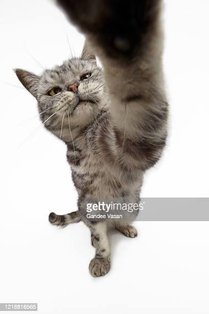 striped domestic tabby cat pointing paw at camera lens - gandee stock pictures, royalty-free photos & images
