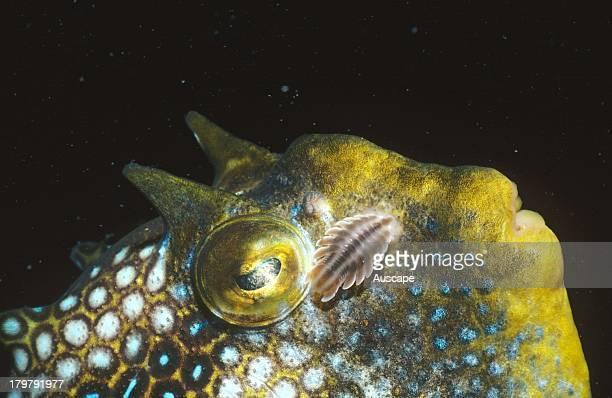 Striped fish louse Creniola laticauda external parasite on male Ornate cowfish Aracana ornata Edithburgh Yorke Peninsula South Australia