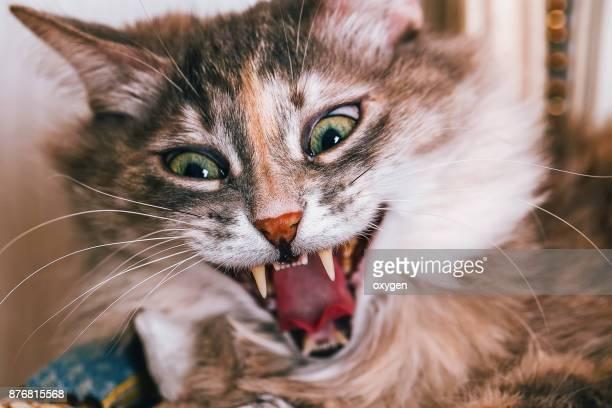 striped fur gray cat giving a big yawn - mammifero foto e immagini stock