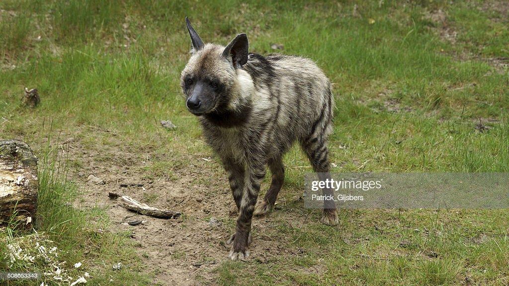 Striped hyena : Stock Photo