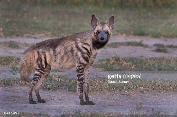 striped hyena - spotted hyena stock pictures, royalty-free photos & images