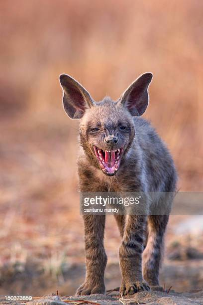 striped hyena pup - spotted hyena stock pictures, royalty-free photos & images