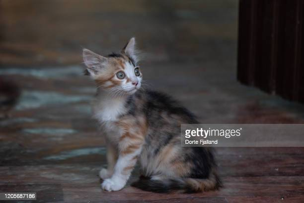 striped kitten with a white face sitting on a brown floor looking up at something - dorte fjalland imagens e fotografias de stock