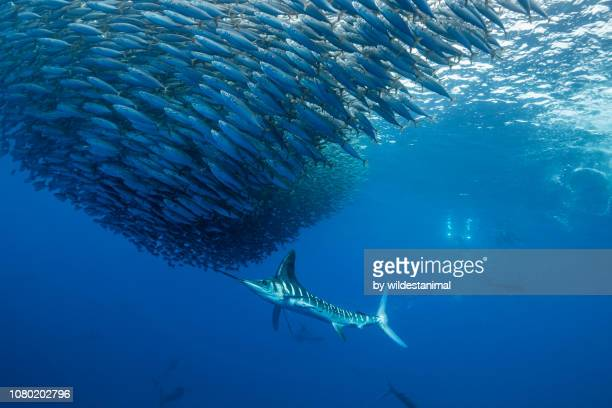 striped marlin attacking a mackerel bait ball off the pacific coast of baja california sur, mexico. - mackerel stock pictures, royalty-free photos & images