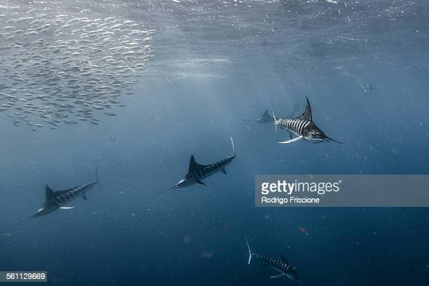 Striped marlin (Kajikia audax) gather on the south pacific side of Baja California peninsula, Mexico, to chase the yearly sardine migration