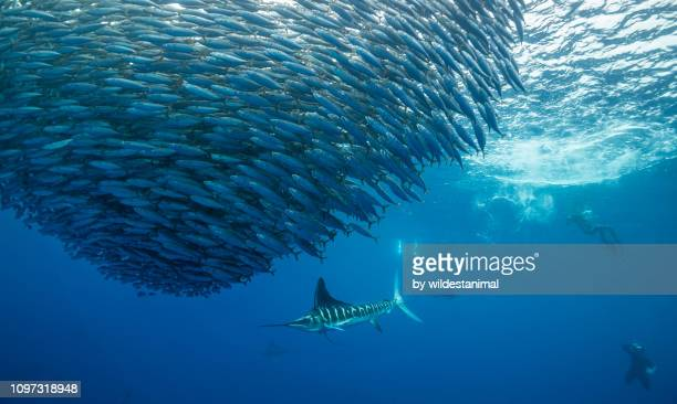 striped marlin hunting mackerel as divers look on, magdalena bay, baja california sur, mexico. - school of fish stock pictures, royalty-free photos & images
