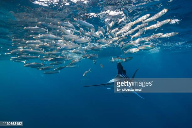 striped marlin hunting sardines, magdalena bay, baja california sur, mexico. - mammal stock pictures, royalty-free photos & images