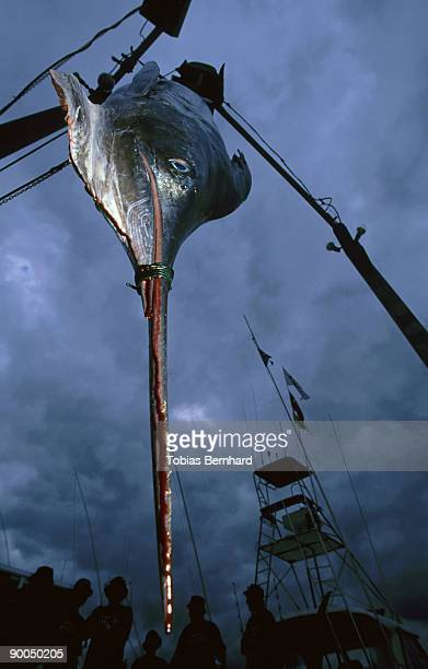 striped marlin, tetrapturus audax, dead, being weighed, tutukaka, nz