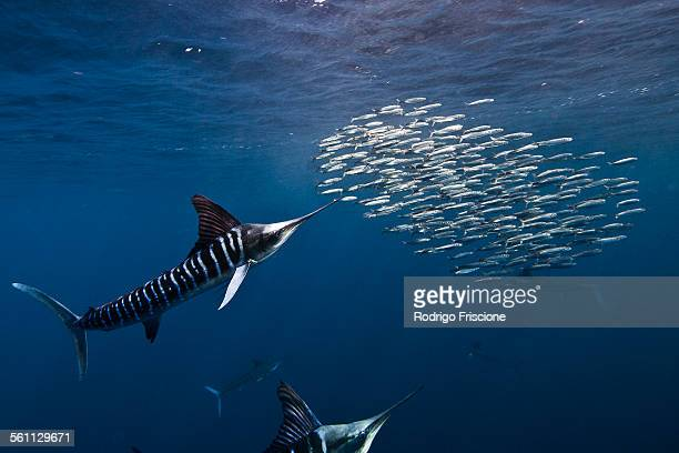 Striped marlins (Kajikia audax) in the south pacific side of Baja California peninsula, Mexico, to chasing sardine migration