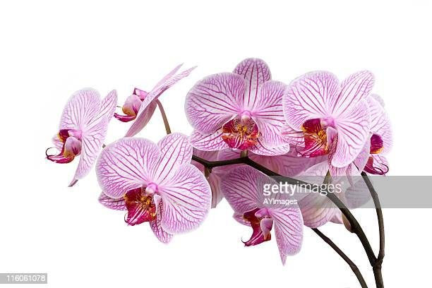 Striped Orchid (Phalaenopsis)