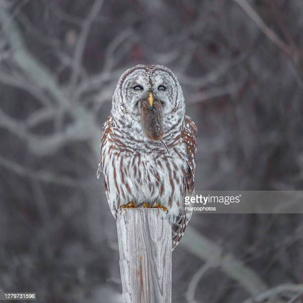 striped owl, (strix varia), bard owl and vole. - animal behavior stock pictures, royalty-free photos & images