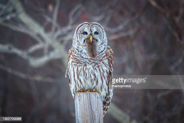 striped owl with field vole, (strix varia), (microtus arvalis) barred owl eating a common vole. - national forest stock pictures, royalty-free photos & images