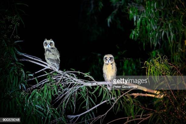 Striped owls (Asio clamator) with young at night, Pantanal, Matto Grosso do Sul, Brazil