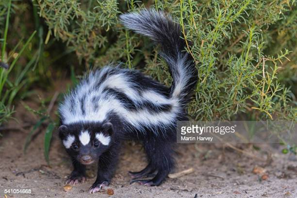 striped polecat(ictonyx striatus).namibia - skunk stock pictures, royalty-free photos & images