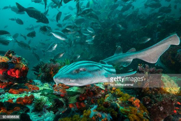 Striped pyjama shark swimming through a coral reef seascape, False Bay, Cape Town, South Africa.
