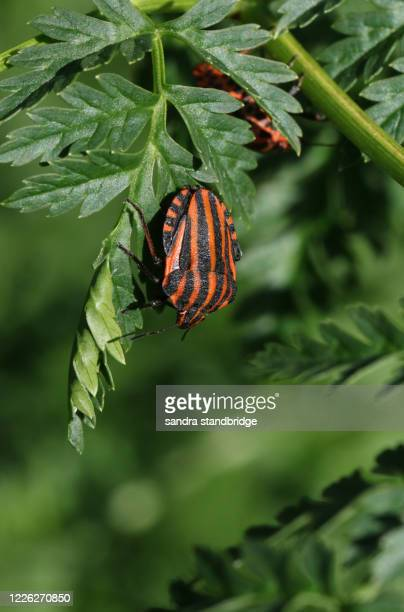 a striped shield bug, graphosoma lineatum, on a poisonous hemlock plant, conium maculatum, in springtime in the uk. - poison hemlock stock pictures, royalty-free photos & images