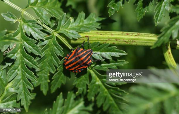 a striped shield bug, graphosoma lineatum, on a poisonous hemlock plant, conium maculatum, in springtime in the uk. - hemlock tree stock pictures, royalty-free photos & images