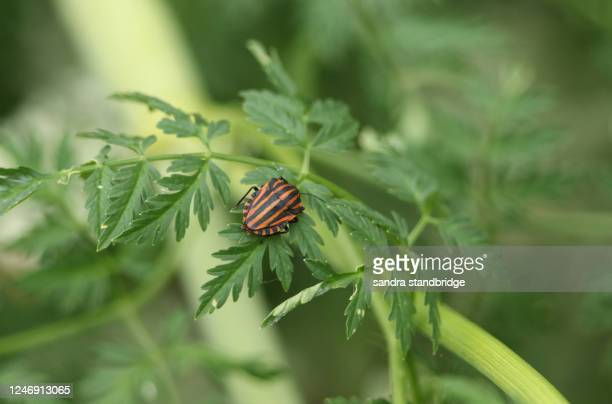 a striped shield bug, graphosoma lineatum, resting on a  poisonous hemlock plant, conium maculatum, in springtime in the uk. - poison hemlock stock pictures, royalty-free photos & images
