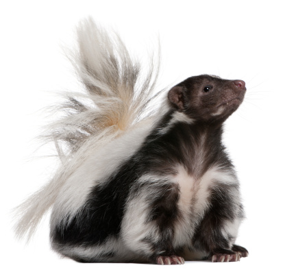 Striped Skunk, 5 years old, sitting and looking up. 119509485