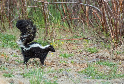 A Striped Skunk and Perfect (defensive) Posture 1183566102