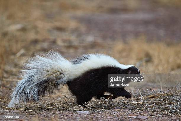 striped skunk (mephitis mephitis), bosque del apache national wildlife refuge, new mexico, united states of america, north america - skunk stock pictures, royalty-free photos & images