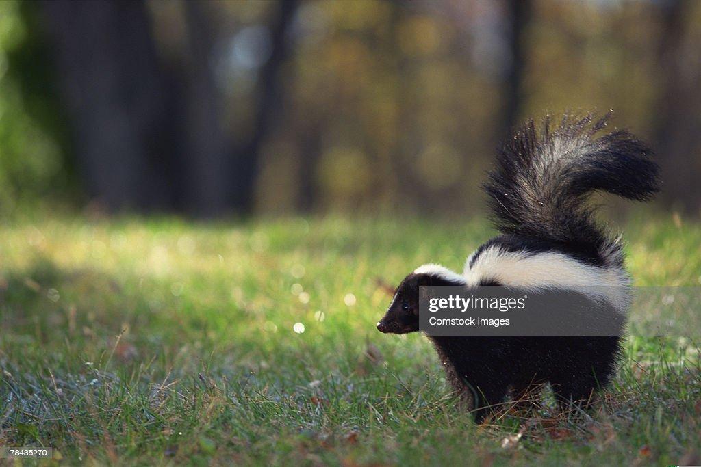 Striped skunk in grass : Stockfoto