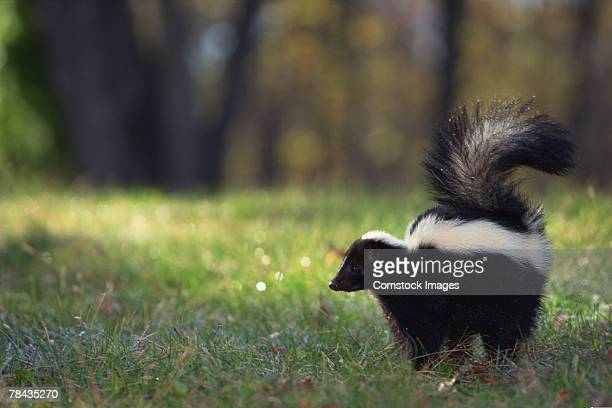 striped skunk in grass - skunk stock pictures, royalty-free photos & images