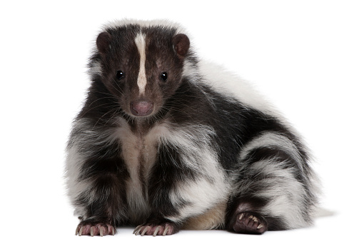 Striped Skunk, Mephitis Mephitis, 5 years old, lying 522864576
