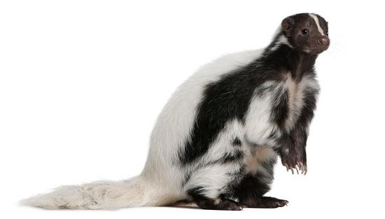Striped Skunk, Mephitis Mephitis, 5 years old, sitting 516688958