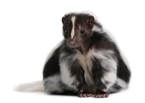 Striped Skunk, Mephitis Mephitis, 5 years old, sitting 521690938