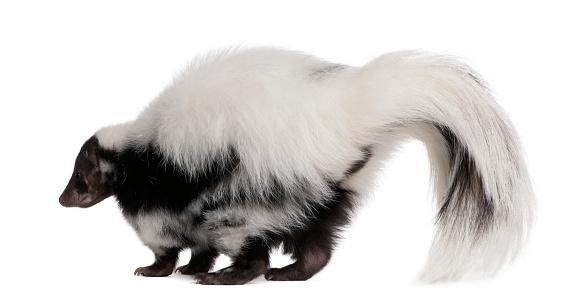 Striped Skunk, Mephitis Mephitis, 5 years old, standing 533987870