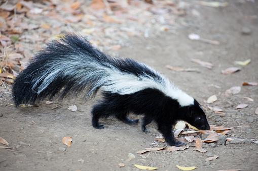 Striped Skunk, Mephitis mephitis. Rancho San Antonio County Park, California 597657560