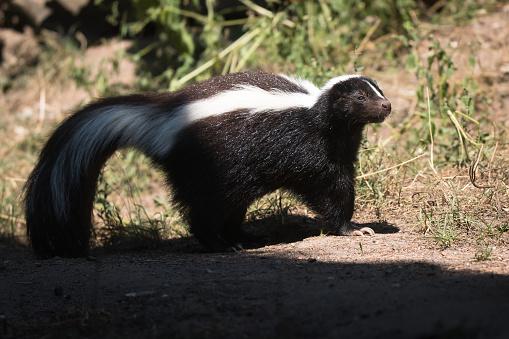 Striped skunk 1033874374