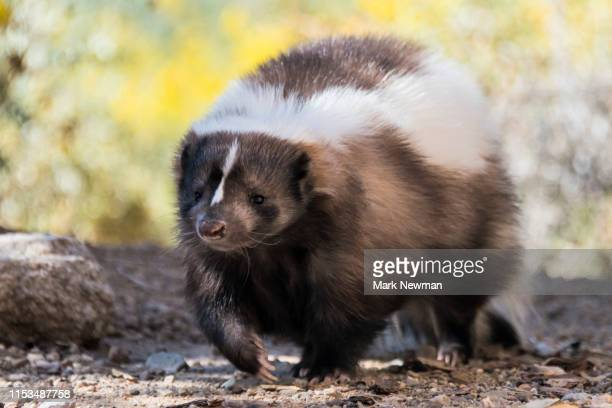 striped skunk - skunk stock pictures, royalty-free photos & images