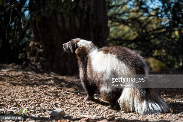striped skunk - unpleasant smell stock pictures, royalty-free photos & images