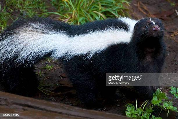 striped skunk (mephitus mephitus) - skunk stock pictures, royalty-free photos & images
