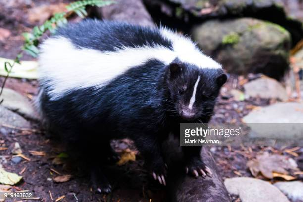 Striped Skunk Stock Photos and Pictures Getty Images