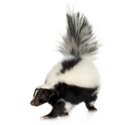 Striped Skunk 93212710