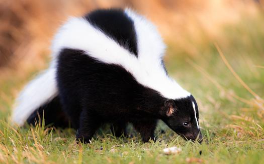 Striped skunk portrait, warm colors. Black and white stinky skunk. 1149579810