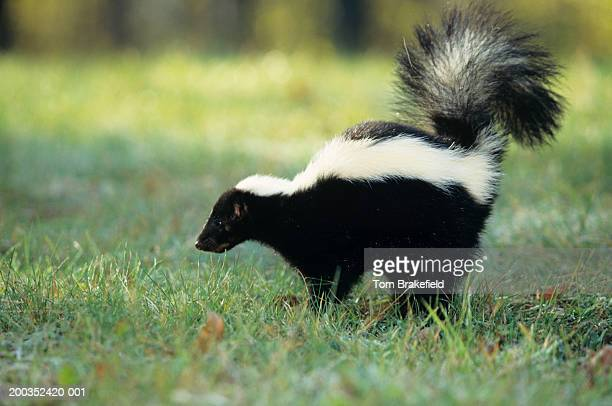 striped skunk (mephitis mephitis) spraying, usa - skunk stock pictures, royalty-free photos & images