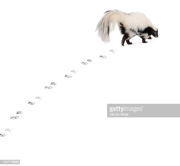 Striped Skunk walking away and leaving paw prints