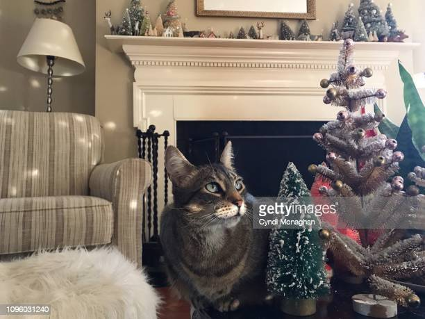 striped tabby cat and christmas decorations - hairy bush stock pictures, royalty-free photos & images