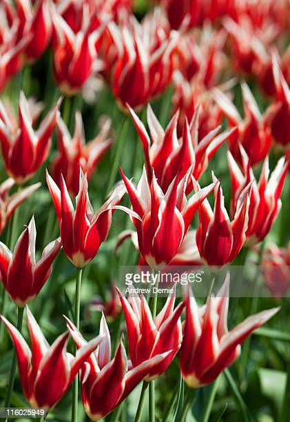 striped tulips - andrew dernie photos et images de collection