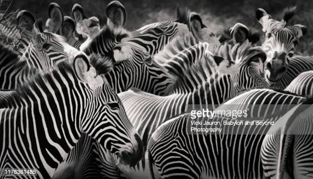 stripes, ears and patterns of grevy zebras in black and white in samburu, kenya - animals in the wild stock pictures, royalty-free photos & images