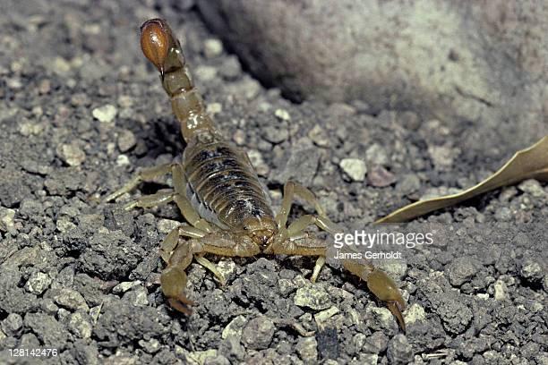 Stripetailed Scorpion, Vaejovis spinigerus, Hidalgo County, New Mexico, USA